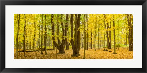 Framed Forest in autumn, Letchworth State Park, New York State, USA Print