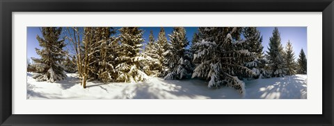 Framed Snow covered pine trees, Quebec, Canada Print