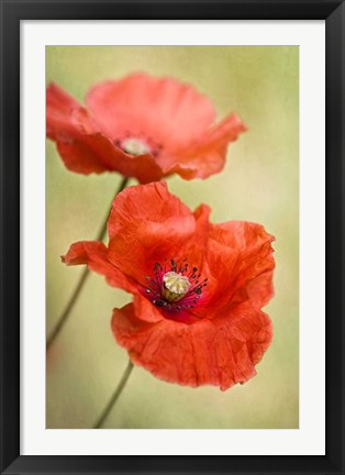 Framed Papaver Passion Print