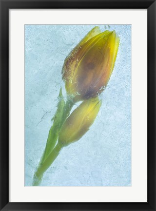 Framed Flowers on Ice-4 Print