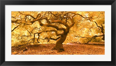 Framed Japanese Maple 2 Print