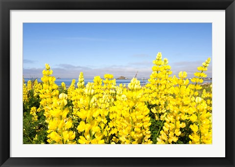 Framed Yellow lupines in a field, Del Norte County, California, USA Print