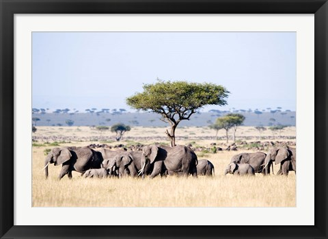 Framed African Elephants in Masai Mara National Reserve, Kenya Print
