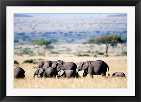 Framed Herd of African elephants (Loxodonta africana) in plains, Masai Mara National Reserve, Kenya Print
