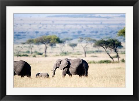 Framed African elephant (Loxodonta africana) with its calf walking in plains, Masai Mara National Reserve, Kenya Print