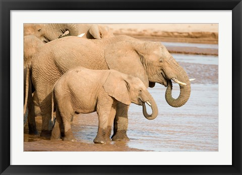 Framed African elephants (Loxodonta africana) drinking water, Samburu National Park, Rift Valley Province, Kenya Print