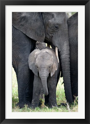 Framed African elephant (Loxodonta africana) with its calf in a forest, Tarangire National Park, Tanzania Print