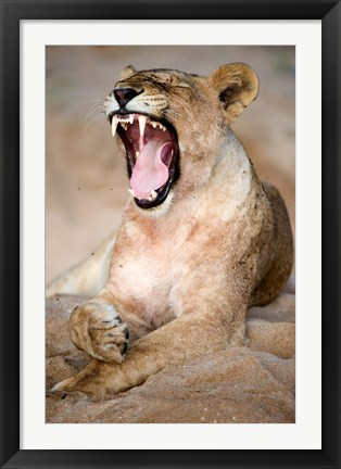 Framed Close Up of Lioness (Panthera leo) Yawning in a Forest, Tarangire National Park, Tanzania Print