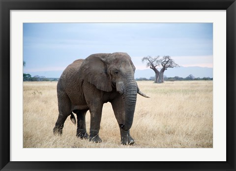 Framed African elephant (Loxodonta africana) walking in a forest, Tarangire National Park, Tanzania Print