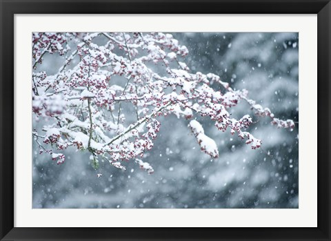 Framed Snow covered branch during snowing, Washington State, USA Print