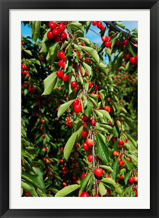 Framed Cherries to be Harvested, Cucuron, Vaucluse, Provence-Alpes-Cote d'Azur, France (vertical) Print