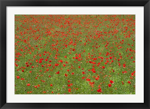 Framed Poppy Field in Bloom, Les Gres, Sault, Vaucluse, Provence-Alpes-Cote d'Azur, France (horizontal) Print