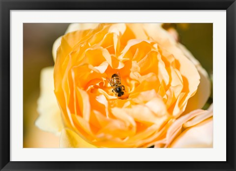 Framed Bee pollinating a yellow rose, Beverly Hills, Los Angeles County, California, USA Print