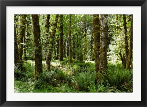 Framed Ferns and Trees, Quinault Rainforest, Olympic National Park, Washington State Print