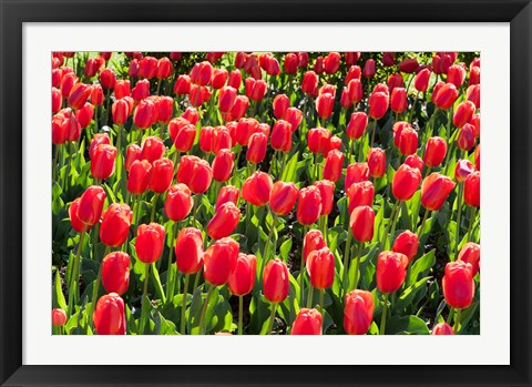 Framed Field of Red Tulips Print