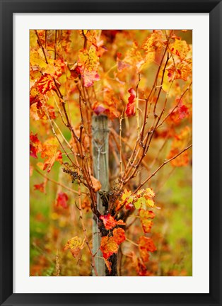 Framed Vineyard in autumn, Gaillac, Tarn, Midi-Pyrenees, France (vertical) Print