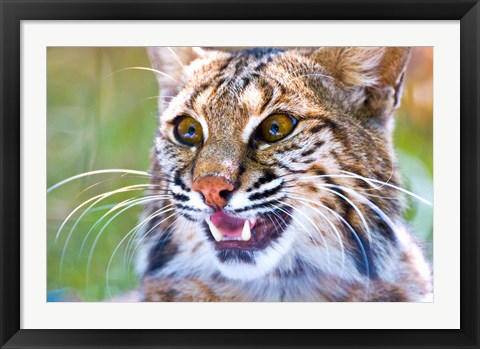 Framed Close-up of a Bobcat (Lynx rufus) Print
