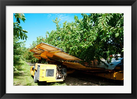 Framed Mechanical Harvester dislodging Cherries into large plastic tub, Provence-Alpes-Cote d'Azur, France Print