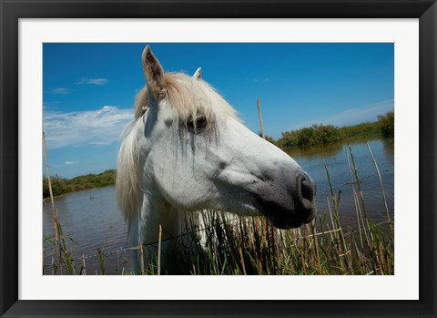 Framed White Camargue Horse with Head over Fence, Camargue, Saintes-Maries-De-La-Mer, Provence-Alpes-Cote d'Azur, France Print