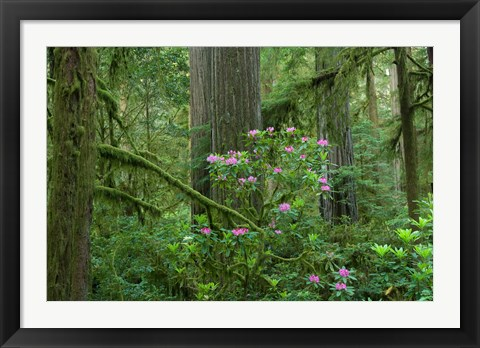 Framed Redwood trees and Rhododendron flowers in a forest, Jedediah Smith Redwoods State Park, Crescent City, California Print