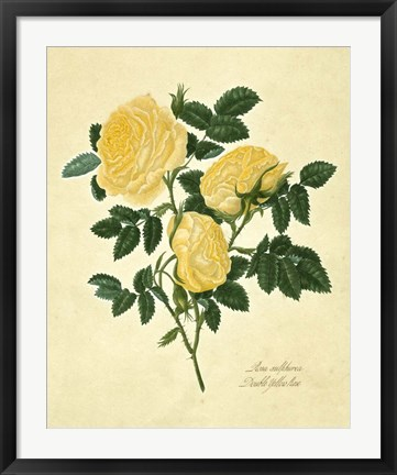 Framed Double Yellow Rose Print