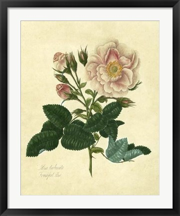 Framed Frankfort Rose Print