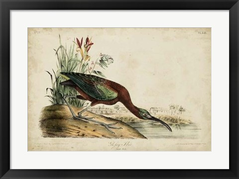 Framed Glossy Ibis Print