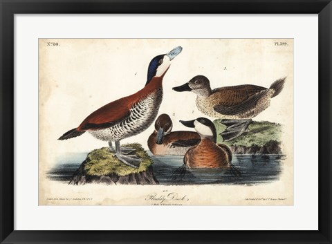 Framed Audubon Ducks II Print