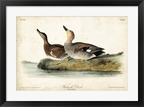 Framed Audubon Ducks VI Print