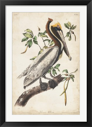 Framed Brown Pelican Print