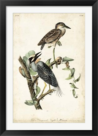 Framed Night Heron Print