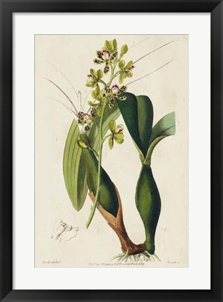 Framed Spring Orchid III Print