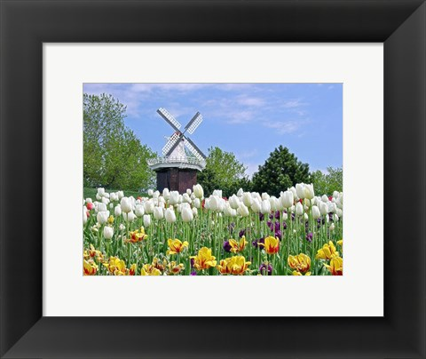 Framed Dutch Tulip Field And Windmill Print