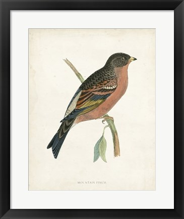 Framed Mountain Finch Print