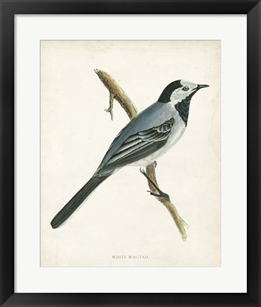 Framed White Wagtail Print