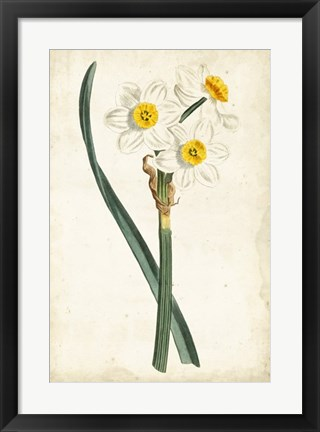 Framed Curtis Narcissus III Print