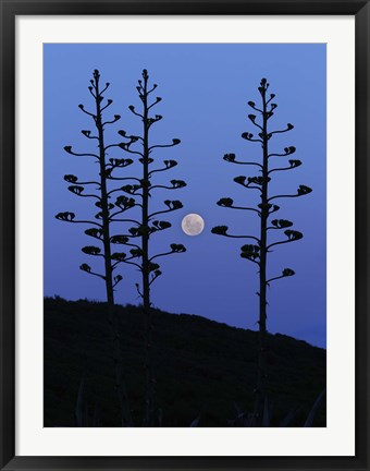 Framed moon rising between agave trees, Miramar, Argentina Print