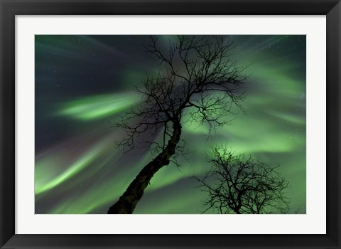 Framed Northern Lights with trees in the arctic wilderness, Nordland, Norway Print