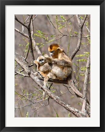 Framed Female Golden Monkey on a tree, Qinling Mountains, China Print