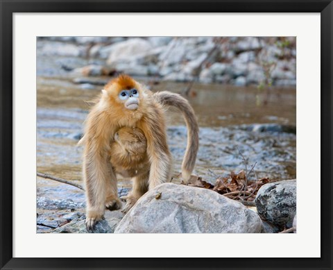 Framed Female Golden Monkey, Qinling Mountains, China Print