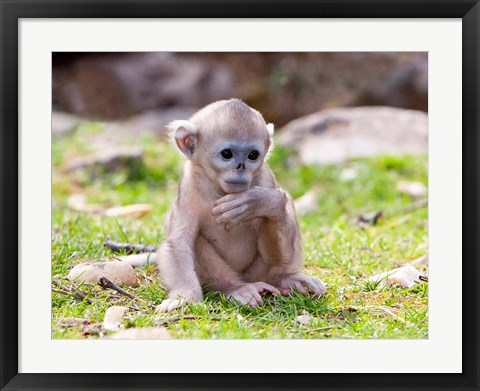 Framed Golden Monkeys, China Print