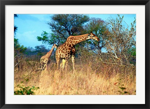 Framed Adult and baby Cape Giraffe, (Giraffa camelopardalis giraffa), Kruger National park, South Africa Print