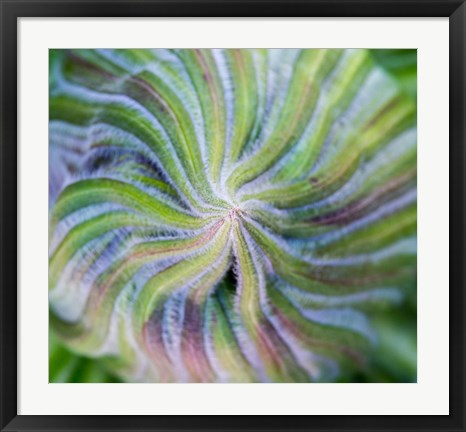 Framed Swirling pattern in Giant Lobelia rosette of leaves, Kenya Print