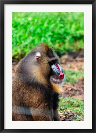 Framed Africa, Cameroon, Limbe. Mandrill at Limbe Wildlife Center. Print