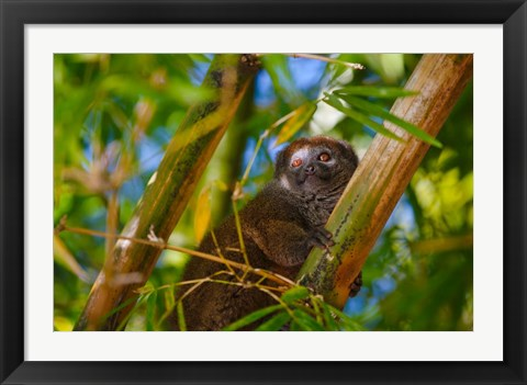 Framed Bamboo lemur in the bamboo forest, Madagascar Print