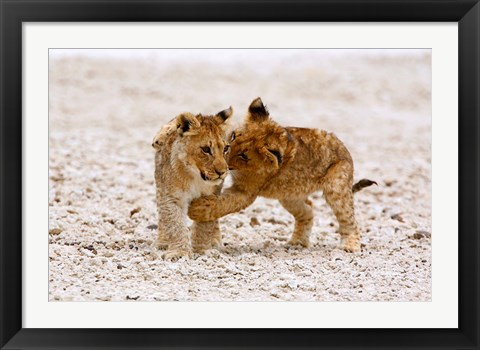 Framed Africa, Two lion cubs play fighting on the Etosha Pan Print