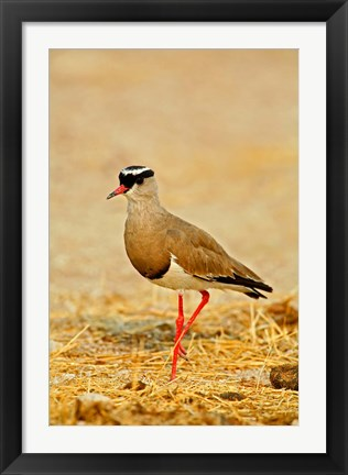 Framed Africa, Namibia. Crowned Plover or Lapwing Print