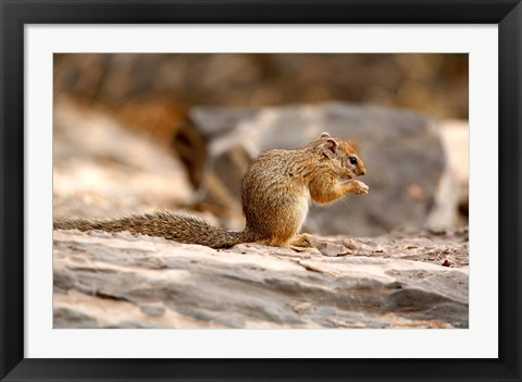 Framed Africa. Tree Squirrel feeding on the ground Print