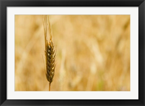 Framed Closeup of Barley, East Himalayas, Tibet, China Print
