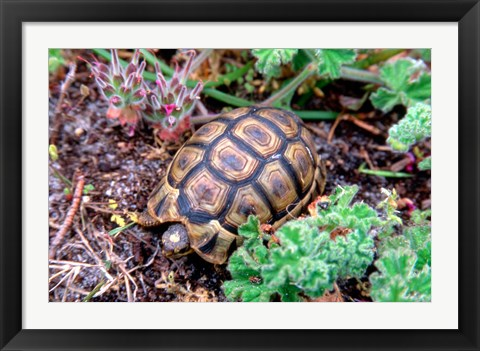 Framed Angulate Tortoise in Flowers, South Africa Print
